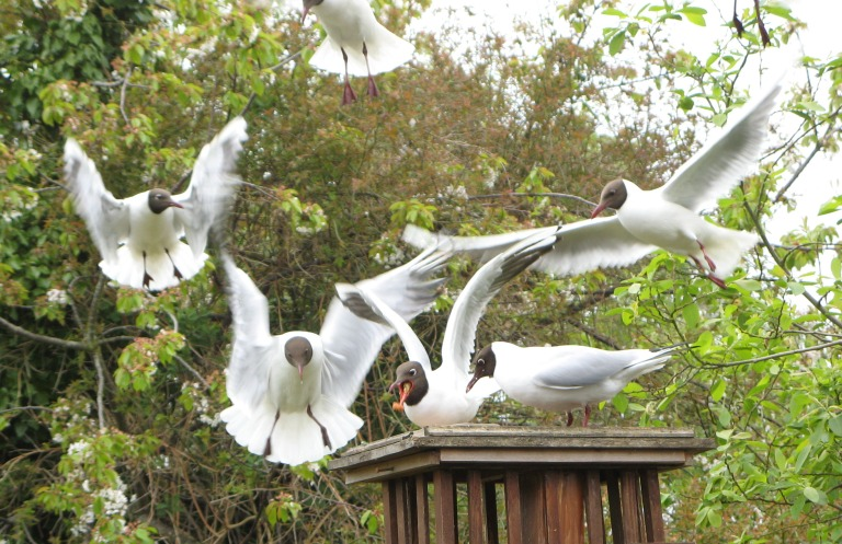 Black headed gulls come for breakfast