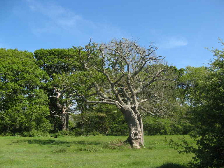 Newtown Oak 014