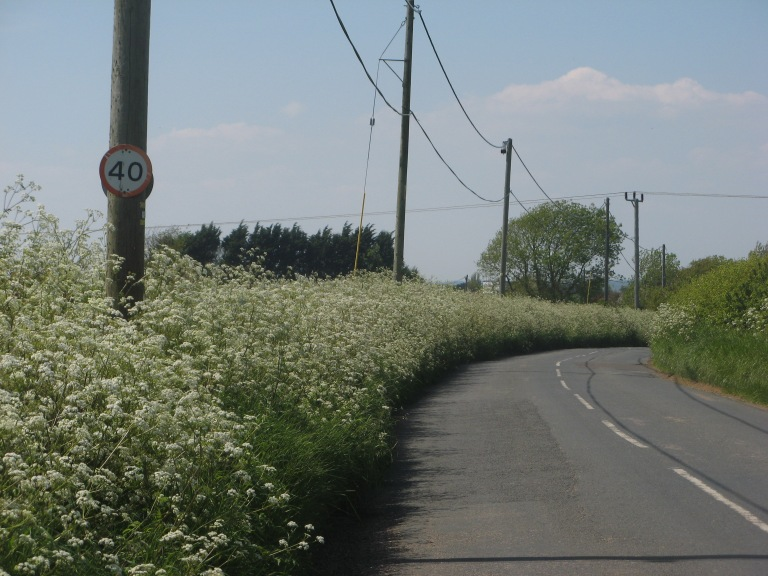 Cow Parsley ThorleyWellow