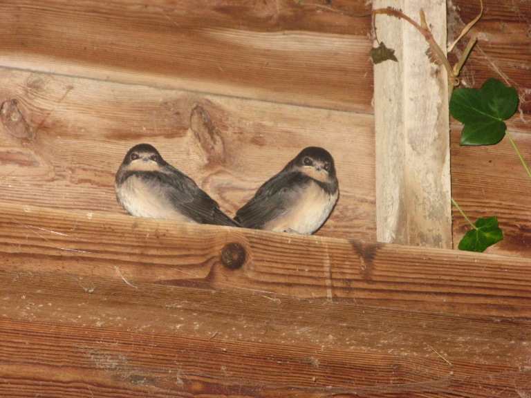 Swallow chicks at Four Acres