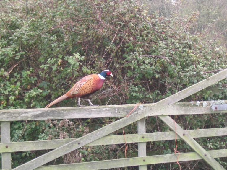 pheasant-on-gate